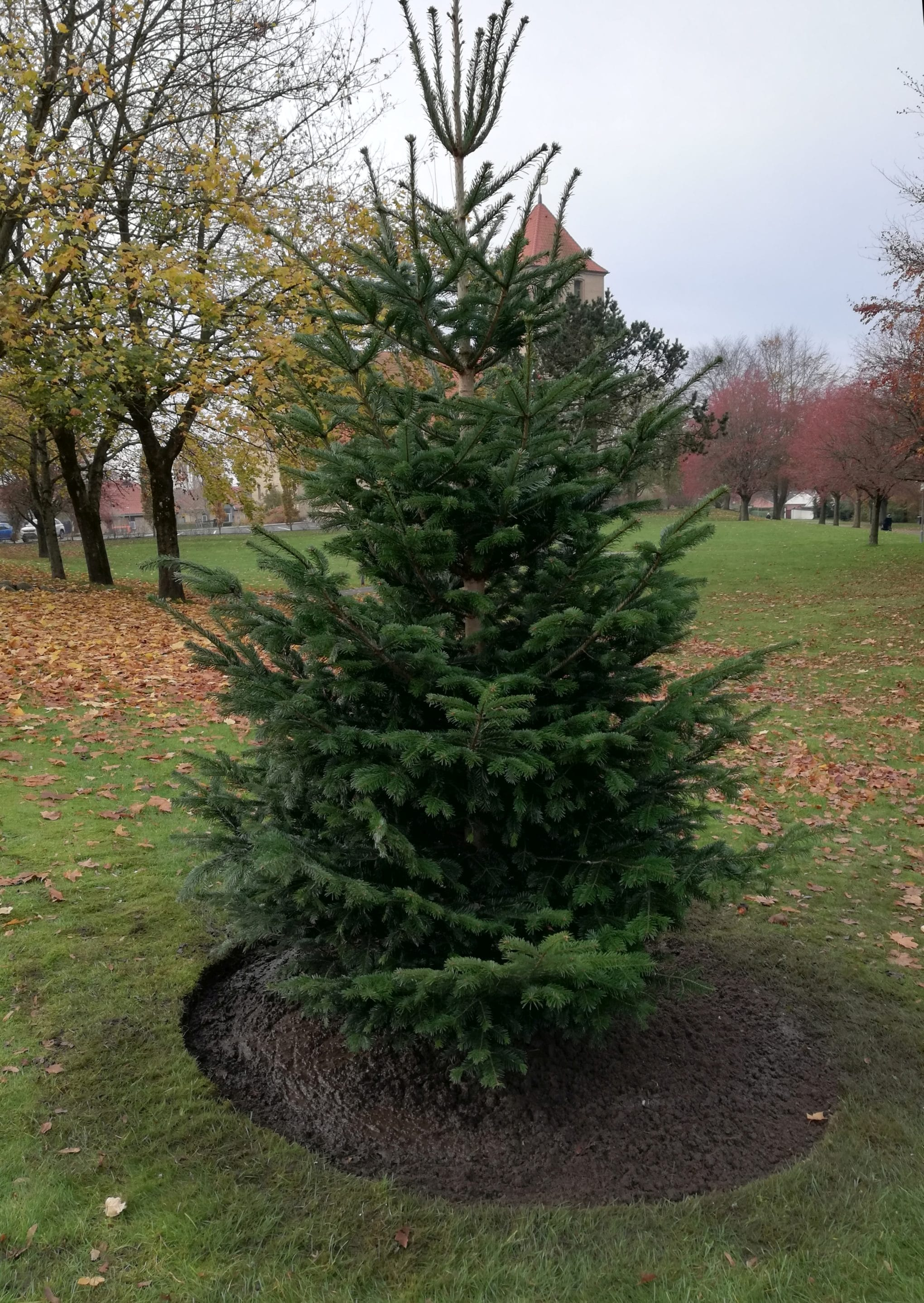 Nyt juletræ plantet ved hasseris kirke endelig placering 1 1
